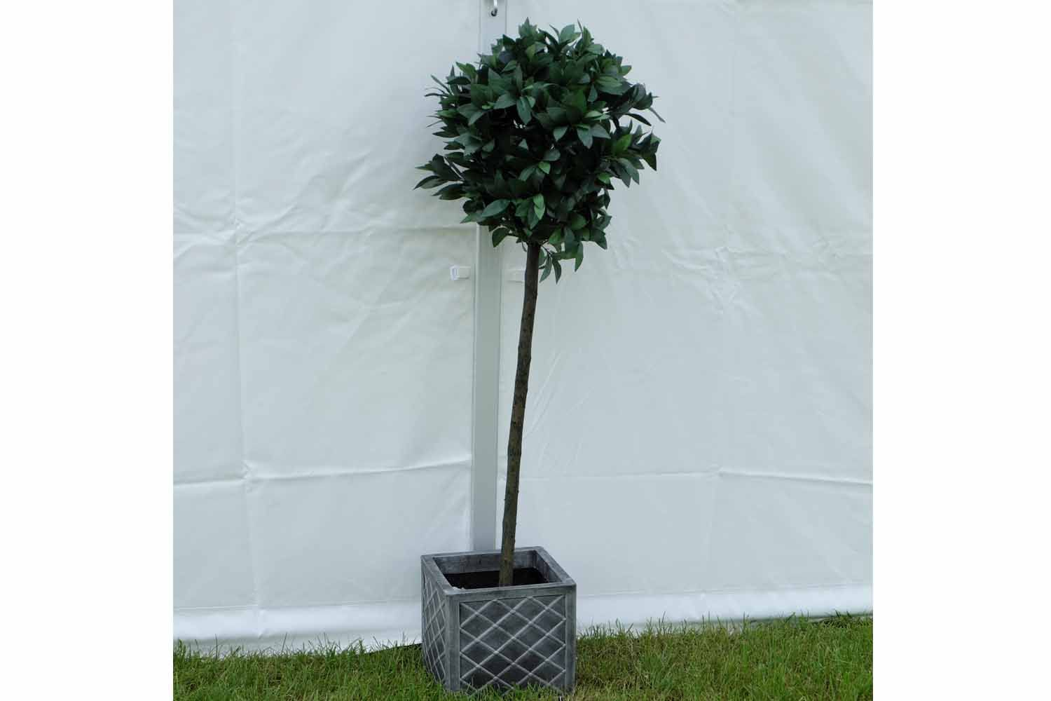 Potted bay tree